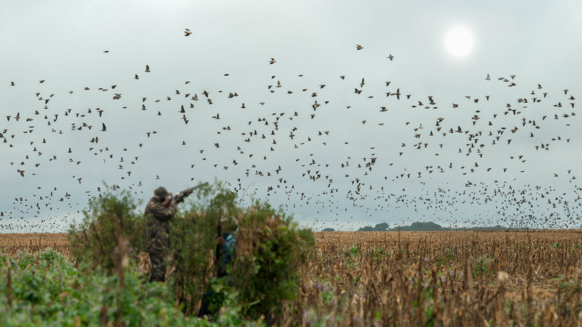 In action - Dove hunting